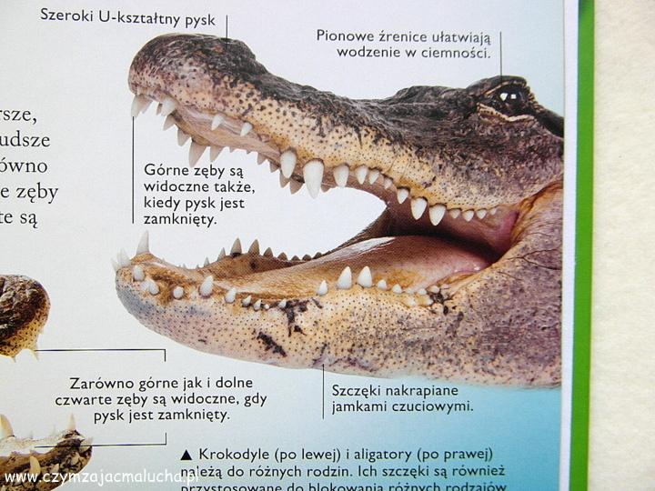 SAM_4801-ciekawostki o krokodylach